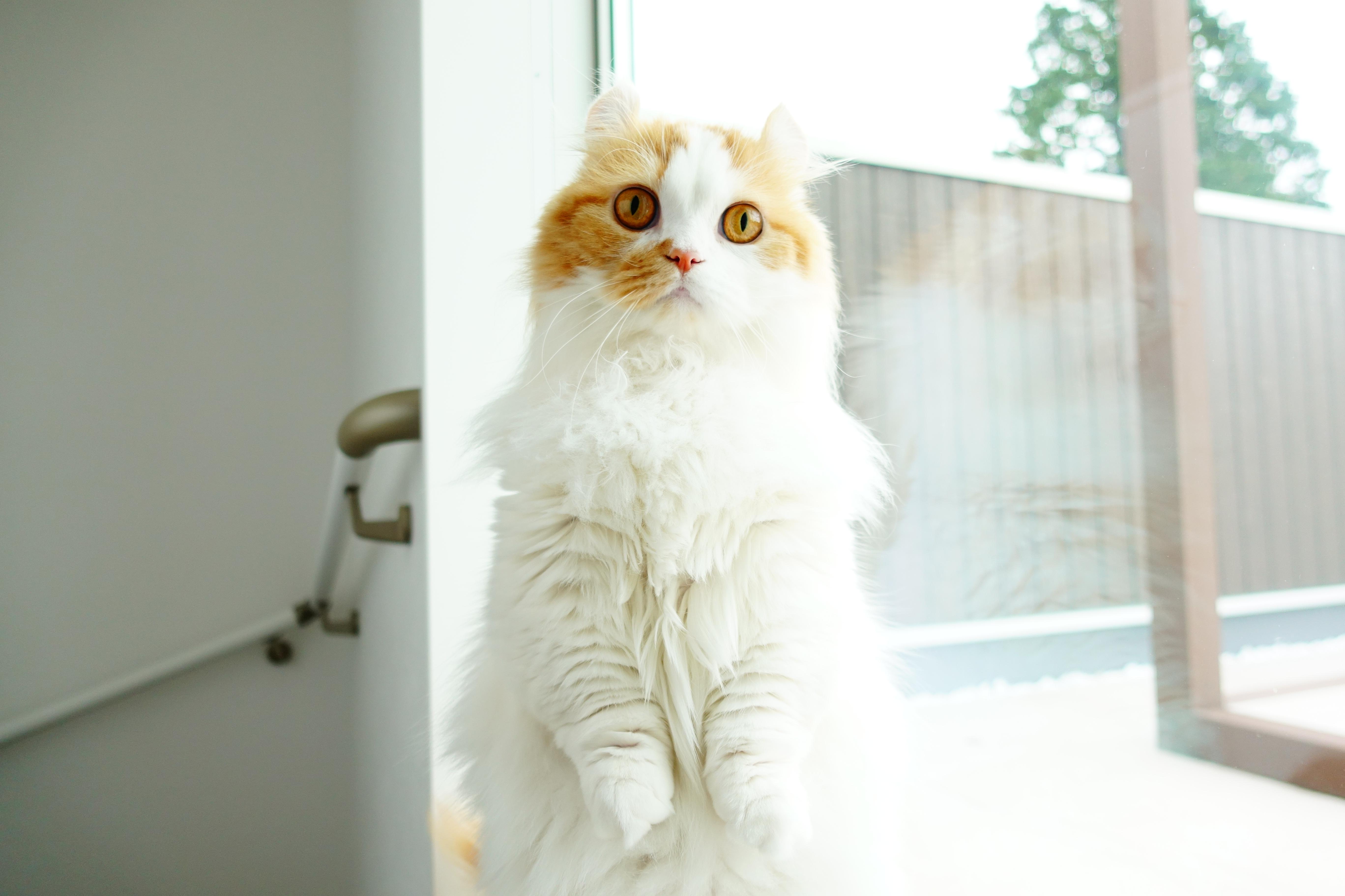 【猫の種類:キンカロー(別名マンチカール)】マンチカンの短足手足とカール耳