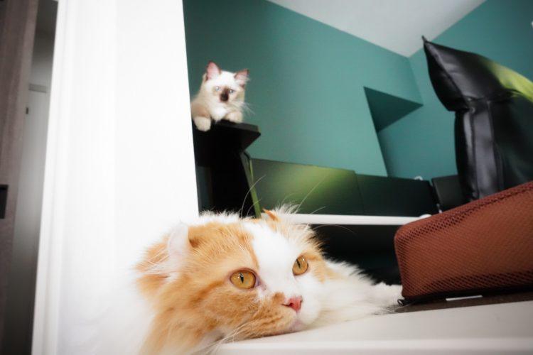 短足猫キンカローのパルさん,ラグドールのリズ