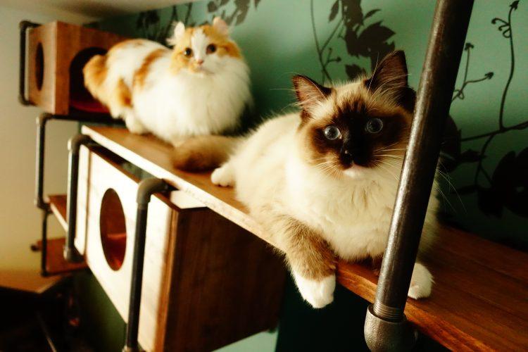 ラグドールのリズと短足猫キンカローのパルさん