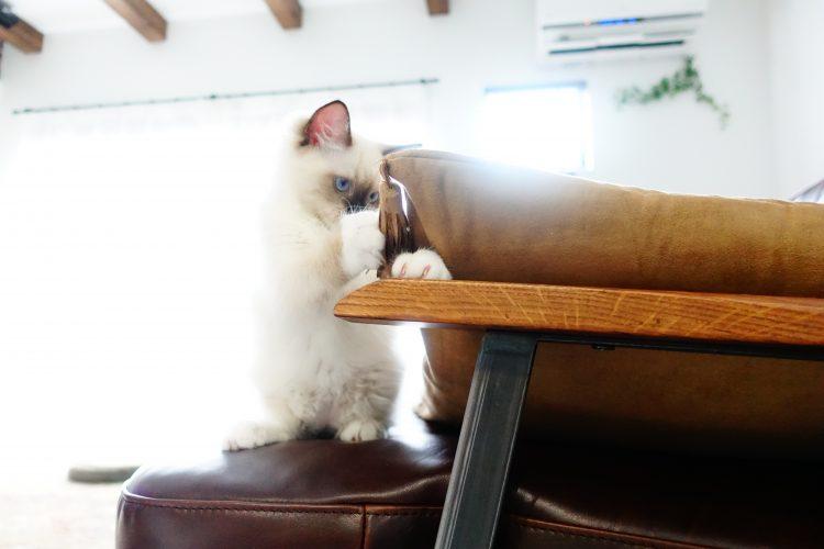 子猫のラグドールのリズ