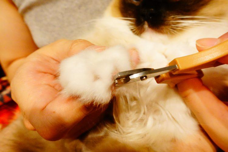 爪切り。ラグドールのリズ