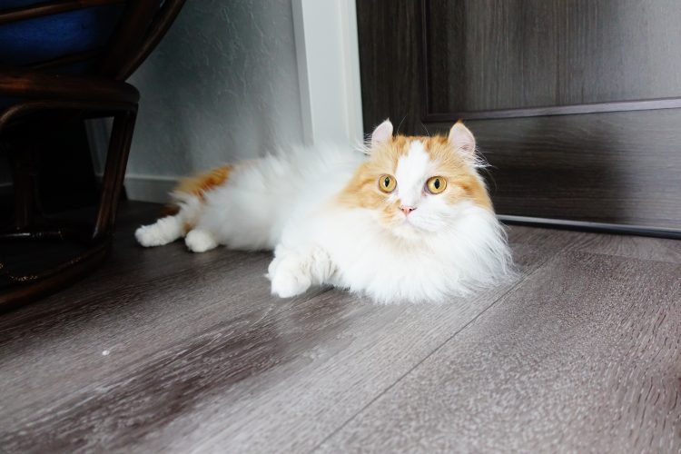 短足猫キンカローのパルさん