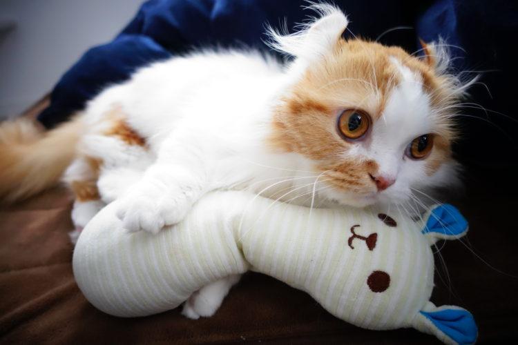 短足猫マンチカンのパルさん