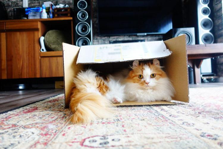短足猫マンチカンとダンボール