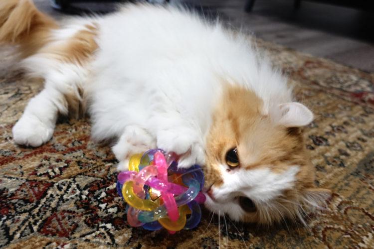 短足猫マンチカンとボールのおもちゃ