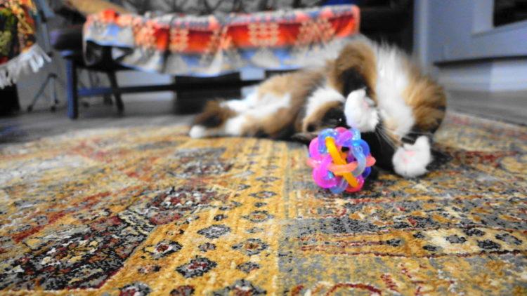 ラグドールのリズと猫のおもちゃボール