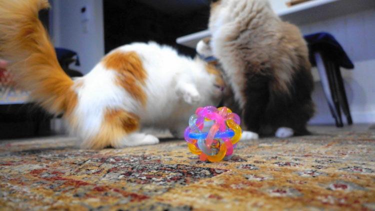 猫と猫用おもちゃのボール