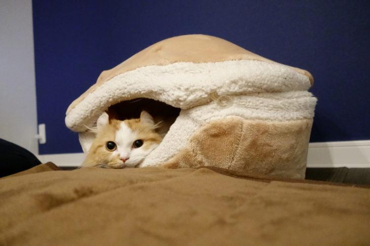 短足猫マンチカンとマカロン猫ベッド