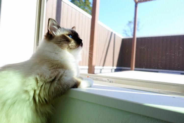 ラグドールの子猫と屋上庭園