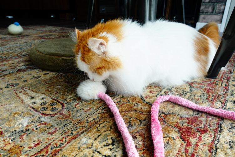 猫おもちゃと短足猫マンチカン