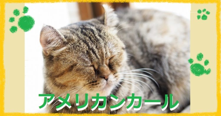 寝ているアメリカンカール猫