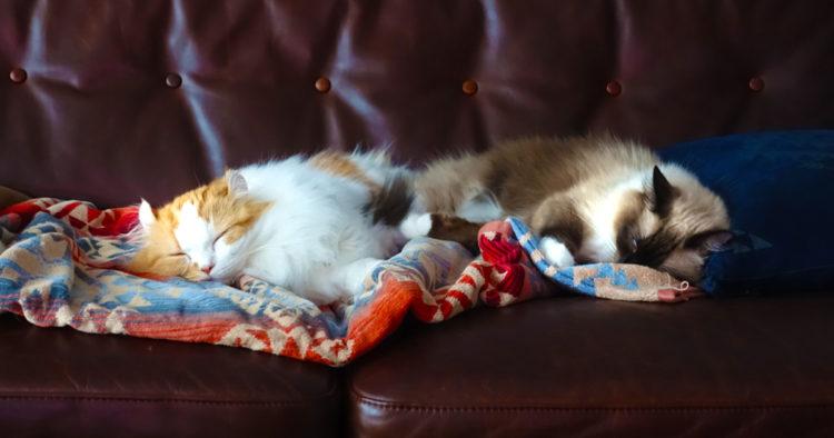 ソファーで眠る2匹の猫