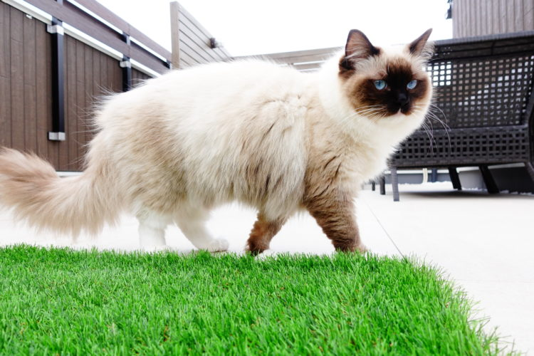 猫のラグドール、リズ