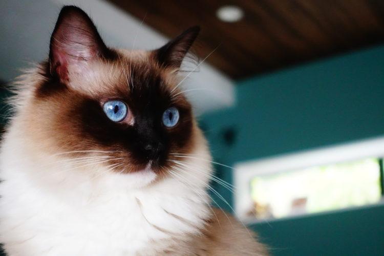 猫のラグドール