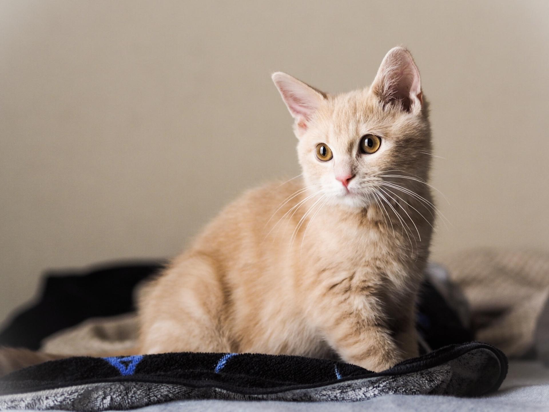 マンチカン子猫の画像集!初めて飼うあなたに検索に便利な色柄別