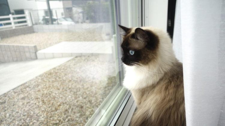 ラグドール猫