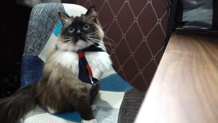 ラグドール猫と制服