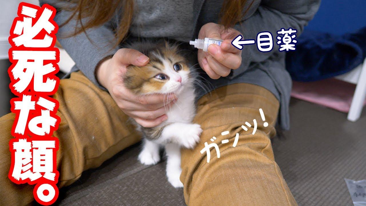 猫の目薬動画と画像説明