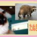 猫のラグドールはたぬき似!? 画像や動画で比較たぬこ集♪